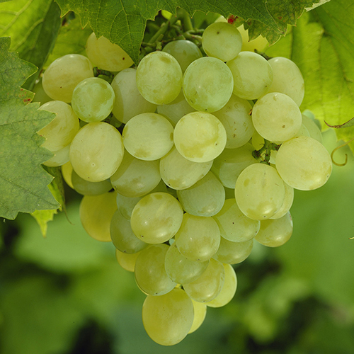 Superior-Grapes-2